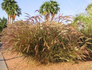 Red Fountain grass pennisetum Rubrum